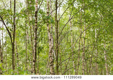 Young Birch Trees