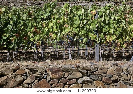 Terraced vineyards of the Douro Valley, Portugal