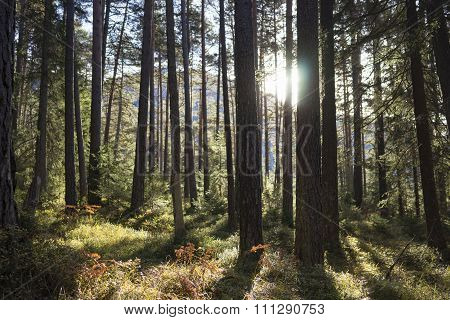 Sun Shining Between Tree Trunks In A Forest
