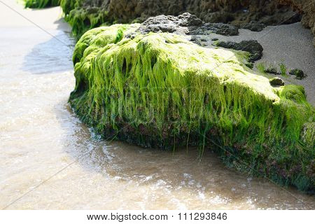 Stone Overgrown With Seaweed.