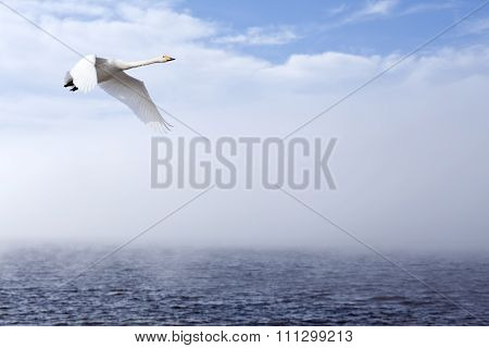 A single whooper swan in migration.