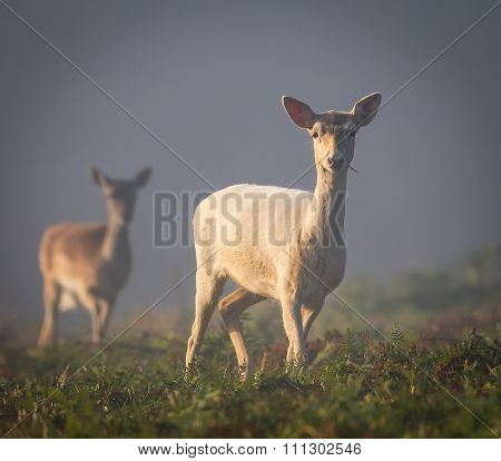 Fallow Deer on a misty morning (Dama dama)