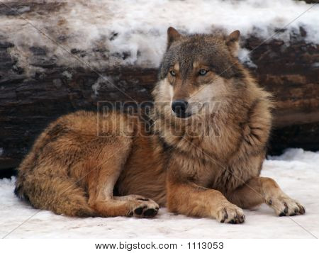 Gray Wolf In A Winter