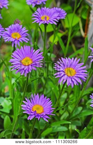 Ornamental garden plants - Alpine Aster (Aster alpinus)