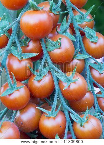 Coctail Tomatos