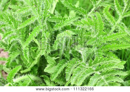 Lush Green Shaggy Leaves Of Decorative Garden Poppy. Lush Vegetation Of Poppy