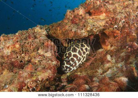 Honeycomb Moray Eel and shrimps