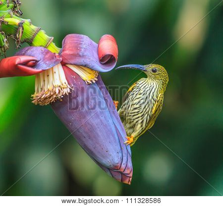 Streaked Spiderhunter Bird