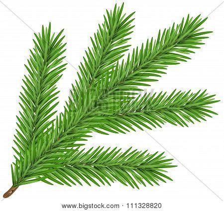 Green lush spruce branch. Fir branch