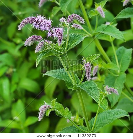 Aromatic garden plant - Mentha longifolia