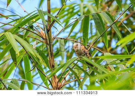 White-hooded Babbler Bird