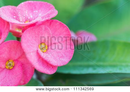 Christ Thorn (euphorbia Milii) Flower Close-up With Drop In The Morning
