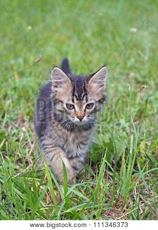 Little tabby kitten on a green lawn