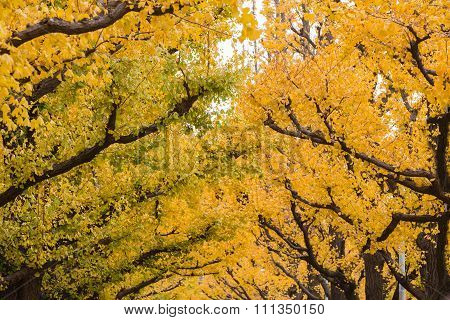 Golden yellow ginkgo trees