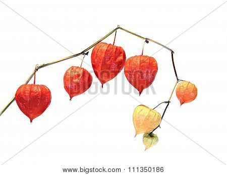 Physalis Berry Plant (chinese Lantern) Isolated
