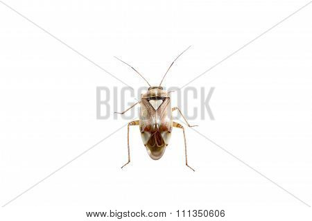 Brown Shield Bug On A White Background