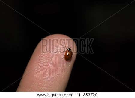 Ladybug, Coccinella septempunctata on finger, blue sky in the background