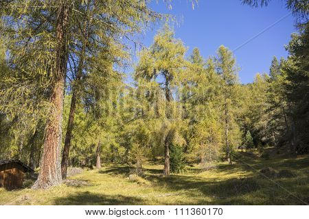 Sunny Austrian Evergreen Forest With Clearing