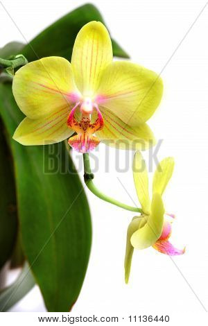 Yellow Orchid Phalaenopsis Isolated On White