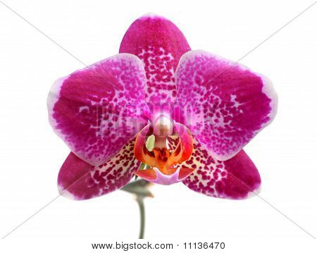 Purple Orchid Phalaenopsis Isolated On White
