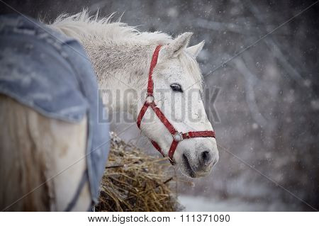 The Wet White Horse Walks In Snowfall.