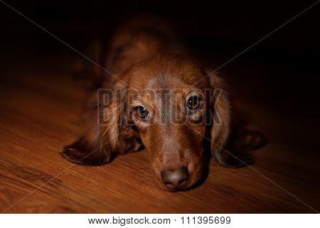 Dachshund dog looks at camera
