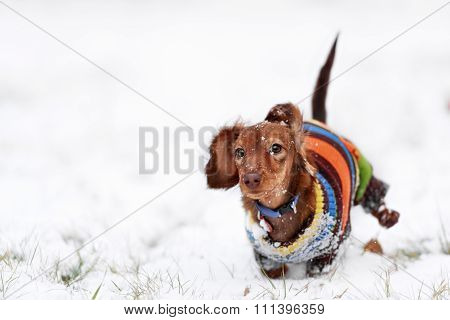 funny dog dachshund  jumps up