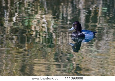 Male Lesser Scaup Duck Swimming In The Still Pond Waters