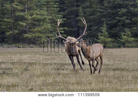 Active Bull Elk Chases Female In Rut Breeding Season