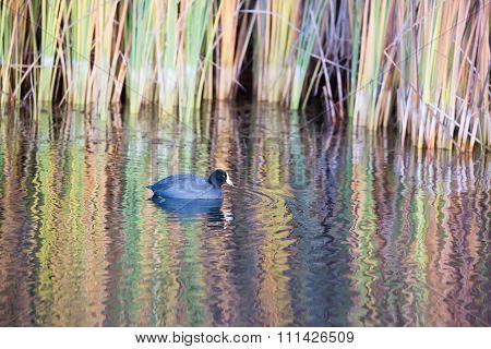 American Coot, Boronda Lake, Foothill Park, Palo Alto, California.