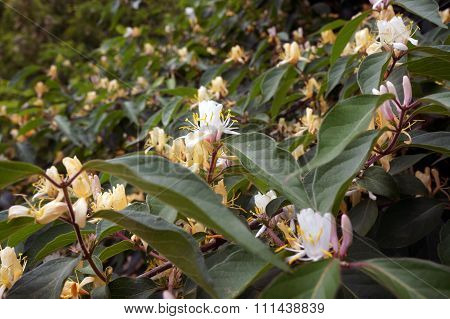 Amur Honeysuckle