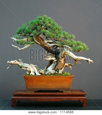 Mugo Pine Bonsai With Deadwood