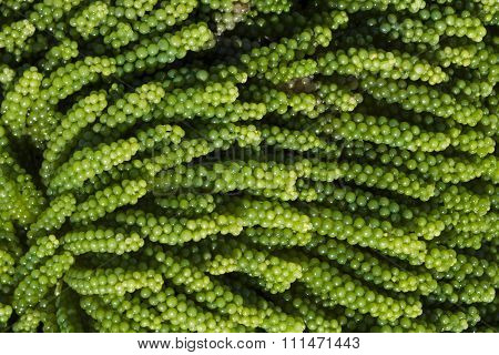 Caulerpa Racemosa Sea Grapes