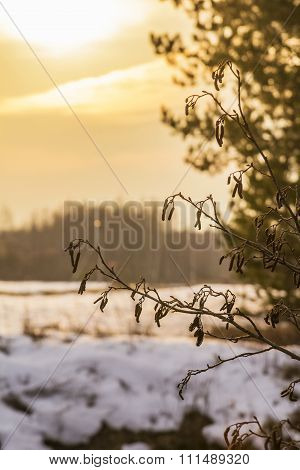 Background winter landscape of alder twigs with catkins on a background of a sunset in a field