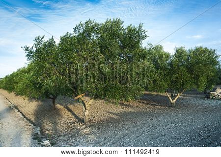 Olive Trees Colture