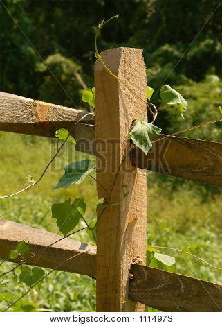 Fenced Vine