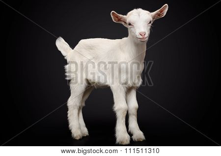 Portrait of a young white goat