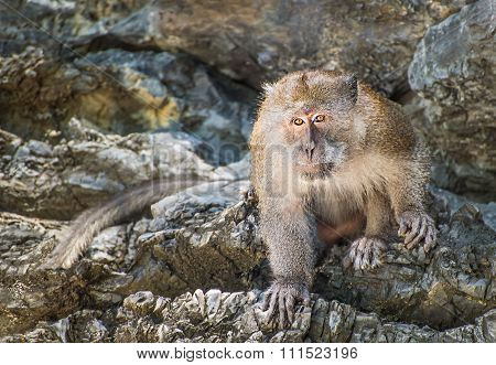 Long-tailed Monkey Animal On The Rock Of Thailand Island