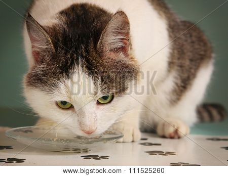 Healthy Grown Up Tom Male Cat Eat From The Plate