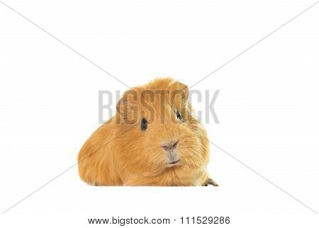 Golden Guinea Pig On A White Background