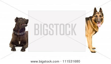 Staffordshire terrier and  German shepherd peeking from behind banner