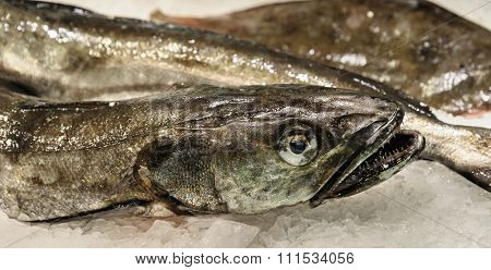 Fresh Hake For Sale