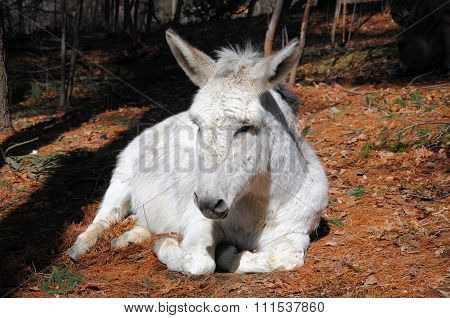 A white donkey lying resting in a barnyard