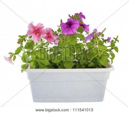 Petunia Of The Balcony Planters..