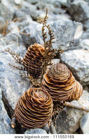 Cedar Branch With Three Cones .
