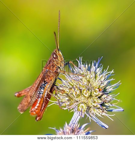 Grasshopper (Tettigonioidea)