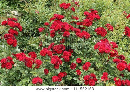 Red Roses.