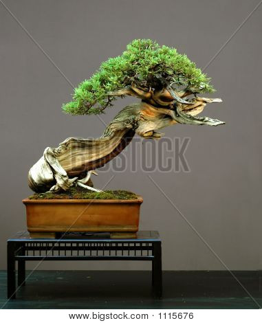 Rocky Mountain Juniper Bonsai