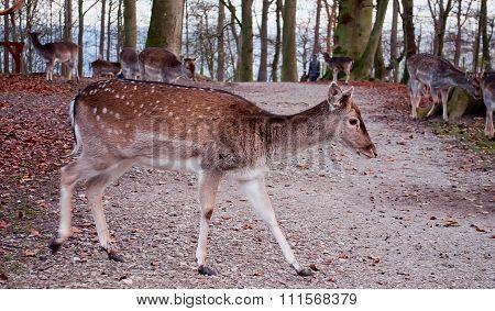 Whitetail Deer Walking Across The Road