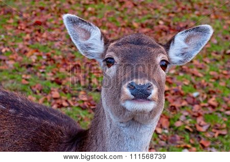 A Funny Portrait Of A Young Deer Looking At You